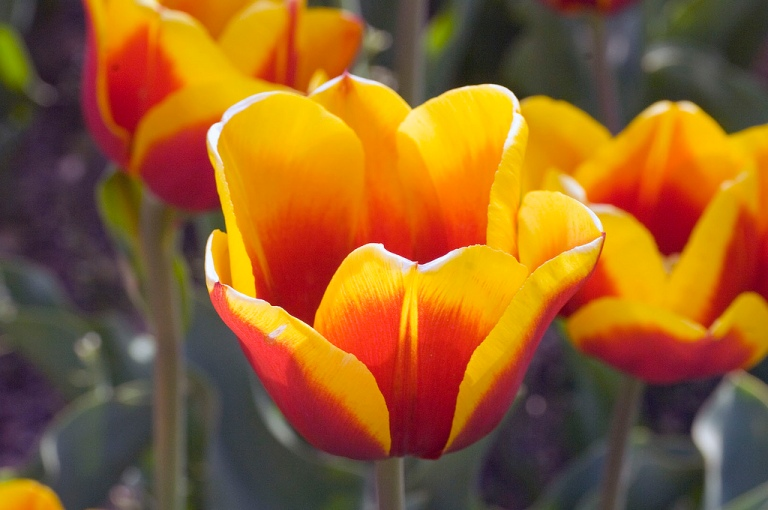 tulip-shart-focus